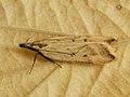 Dichomeris limosellus (39073334640).jpg
