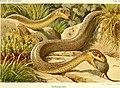 Die Reptilien und Amphibien mitteleuropas (1912) (20319869574).jpg