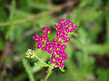 Die Schafgarbe, lat. Achillea millefolium, 'Cerise Queen' 08.jpg