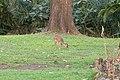 Dikdik in Tanzania.jpg