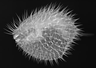 Long-spine porcupinefish - Image: Diodon holocanthus X ray