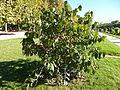 Dipelta floribunda-Jardin des plantes 01.JPG