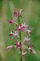 Dipodium variegatum 5.png