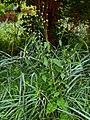 Dipsacus pilosus plant (03).jpg