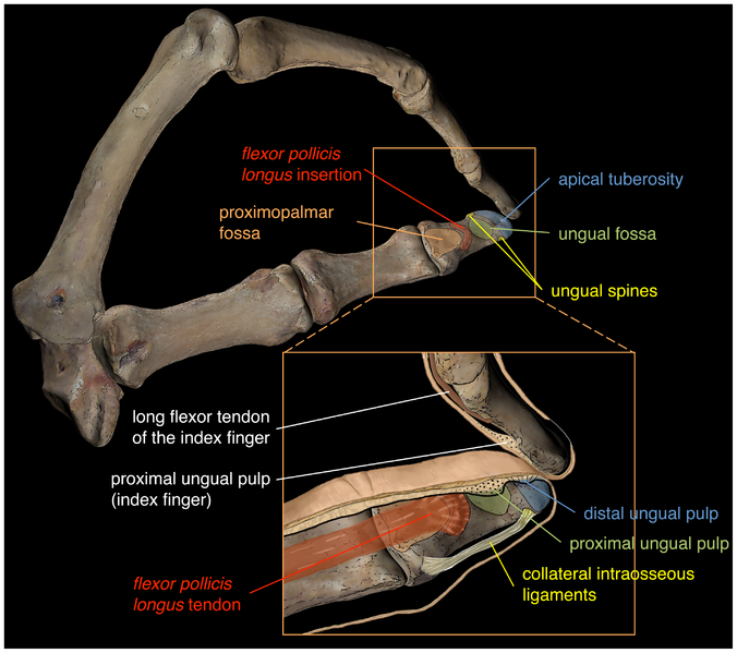 File:Distal-phalanges-thumb-index Journal.pone.0011727.g001.png