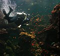 Diver is cleaning aquarium in California Academy of Sciences 1.jpg
