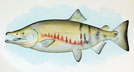 Dog Salmon Breeding Male.jpg