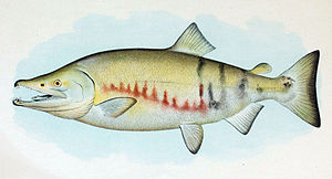 Chum salmon - Image: Dog Salmon Breeding Male