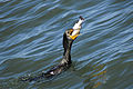 Double-crested Cormorant fishing in the Indian River Lagoon - Andrea Westmoreland.jpg