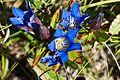 Downy gentian (Gentiana puberulenta) (15140261708).jpg