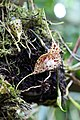 Dracula vespertilio (Orchidaceae) (31330713193).jpg