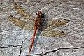 Dragonfly (10673522963).jpg
