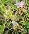 Drosera indica from Madayippara 03.JPG