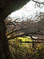 Druid's Oak (7104458983).jpg