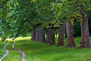 Košutnjak - Platanus trees