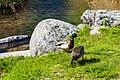 Duck (27479059757).jpg