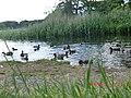 Ducks Swimming in the Lake at Bunrower - panoramio.jpg