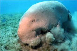 Sirenia - Dugongs sift through the seafloor in search of seagrasses.