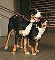 Duzy szwajcarski pies i entelbuher pl.jpg