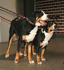 Greater Swiss Mountain Dog standing next to Entlebucher Mountain Dog.
