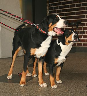Swiss mountain dog - A Grosser Schweizer Sennenhund (left) and an Entlebucher Sennenhund (right)