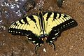 Eastern Tiger Swallowtail - Papilio glaucus, Leesylvania State Park, Woodbridge, Virginia.jpg