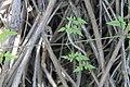 Eccremocarpus scaber (29552039483).jpg