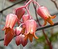 Echeveria lilacina 2.jpg