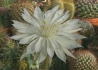 Echinopsis calochlora subsp. calochlora1a.PAKAL