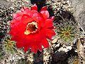 Echinopsis huascha - Flickr - Dick Culbert.jpg