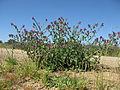 Echium plantagineum plant6 (13942359825).jpg