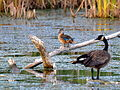Eclipse male Wood Duck and Canada Goose, Woodstock, Illinois.jpg