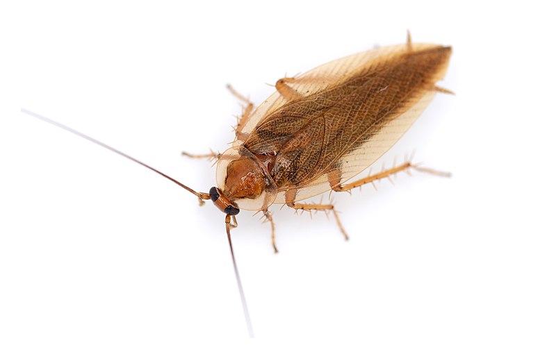 Cucaracha (Ectobius vittiventris).