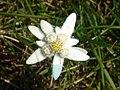 Edelweiss 20060730.jpg