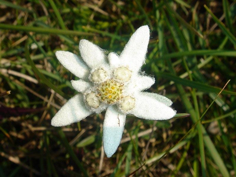 Картинки цветок эдельвейс 6