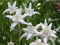 Edelweiss 3.jpg