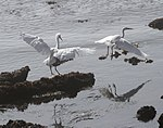 Egrets (15577899592).jpg