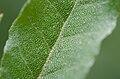 Elaeagnus umbellata leaf upper surface detail.jpg