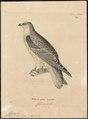 Elanus leucurus - 1700-1880 - Print - Iconographia Zoologica - Special Collections University of Amsterdam - UBA01 IZ18200376.tif