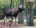 Elch Alces alces Tierpark Hellabrunn-11.jpg