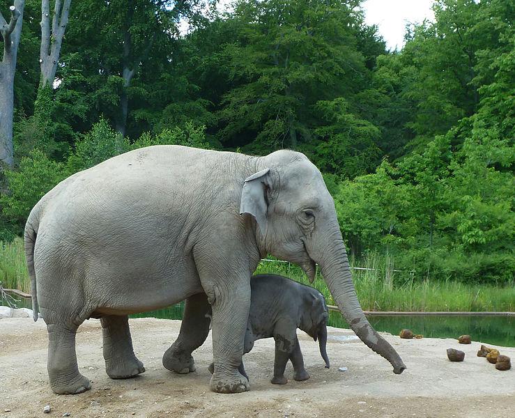 File:Elephant-baby-elephant-elephant-shit.jpg