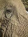 Elephant in Tanzania 3325 Nevit.jpg