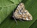 Elophila nymphaeata - Brown china-mark - Водная огнёвка кувшинковая (39924639875).jpg