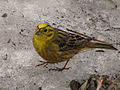 Emberiza citrinella in Pushchino 3.jpg
