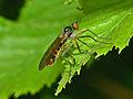 Empididae - Brachystoma sp..JPG