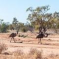 Emu Burke River floodplain Boulia Shire Queensland P1060869.jpg