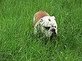 Englische Bulldogge - panoramio - Baden de.jpg