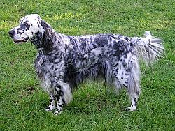 http://upload.wikimedia.org/wikipedia/commons/thumb/7/71/English_setter.jpg/250px-English_setter.jpg