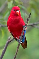 A red parrot with a blue underside-of-the-tail