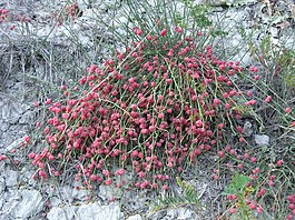 Ephedra distachya (with cones) 2011 1.jpg